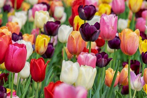 cuidado de tulipanes