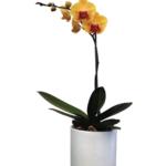 Orquídea Catalina
