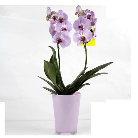 Orquídea Luna